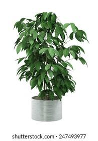 bush plant in pot culture on white background,