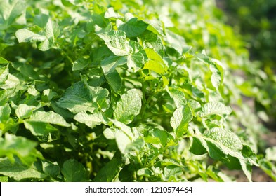 bush plant of young potato growing in the field, farming, agriculture, vegetables, eco-friendly agricultural products, agroindustry, mineral fertilizer, closeup. selective focus