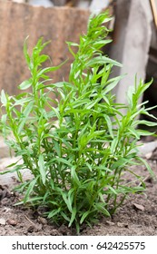 bush plants tarragon as background close up macro