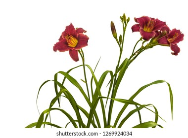 Bush of  purle daylily ( hemerocallis)  'Little Missy' with buds on a white background isolation