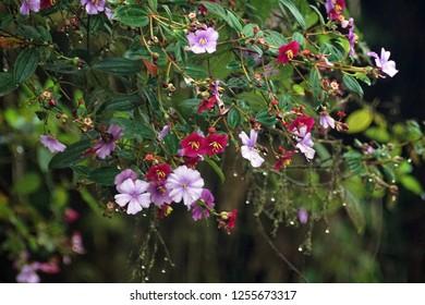 Bush with purple flowers in multiple sades near Baeza, Ecuador