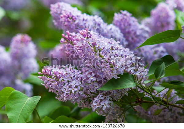 A bush of purple lilac against green background