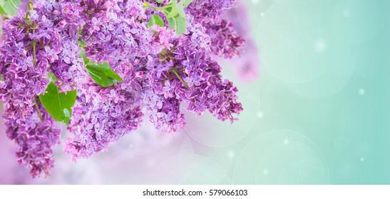 Bush of  of purple Lilac flowers   on blue sky bokeh  background