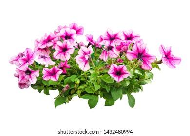 Bush purple Petunia flowers, isolated.