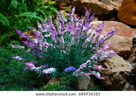 bush with purple and white flowers in a garden - English Flowers Garden