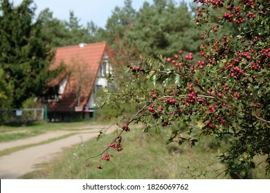 Bush with red fruits of Crataegus - commonly called hawthorn, thornapple, May-tree, whitethorn, or hawberry. It is edible and medicinal plant. Dirt road and house in background.