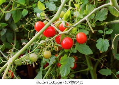 Bush with red and green mini tomatoes