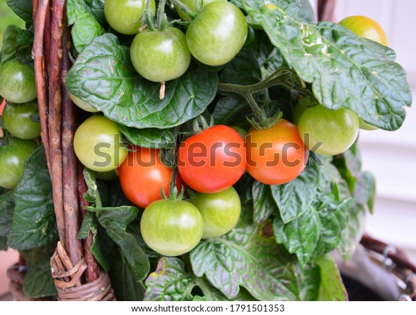 bush-red-green-tomatoes-600w-1791501353.