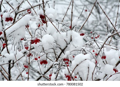 The bush of red mountain ash is covered with snow.