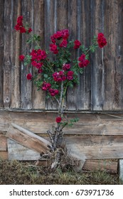 Bush of red roses clinging onto a barn wall in Gmunden, Austria.