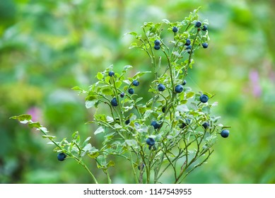 Bush of a ripe bilberry closeup. Bush berries high in the mountains