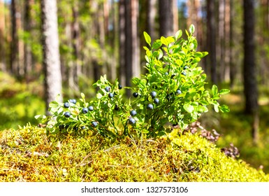 Bush of a ripe blueberry on the blurred background in summer forest