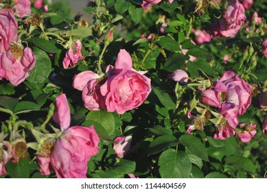 Bush with sluggish pink roses flowers, soft blurry background