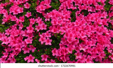Bush with Small Pink Flowers