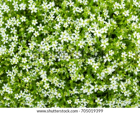 Bush small white flowers stellaria dichotoma stock photo edit now a bush of small white flowers stellaria dichotoma l mightylinksfo