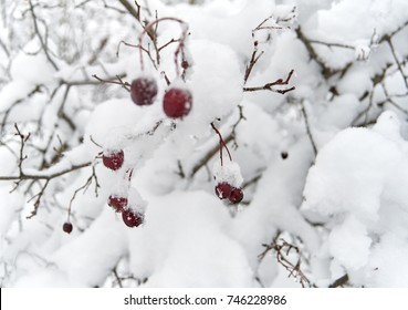 bush snow, rose, berry branch in the winter