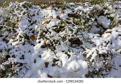 Bush with snow in winter