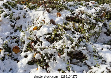 Bush with snow in winter time