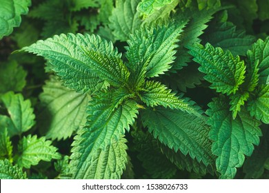 Bush of stinging-nettles. Nettle leaves. Top view. Botanical pattern. Greenery common nettle.