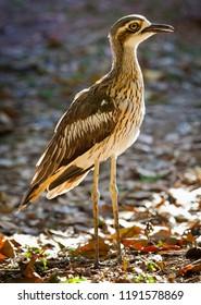 The bush stone-curlew or bush thick-knee (Burhinus grallarius, obsolete name Burhinus magnirostris) is a large (55–60 cm wingspan) ground-dwelling bird endemic to Australia.