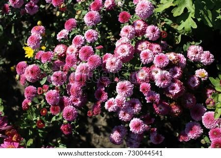 Bush Tiny Pink Chrysanthemum Flowers Stock Photo Edit Now