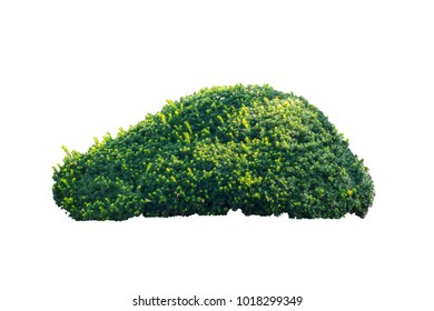 bush tree isolated with clipping path