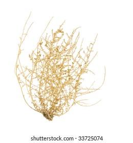 Bush of Tumbleweed, isolated on White Background