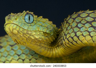 Bush viper / Atheris squamigera