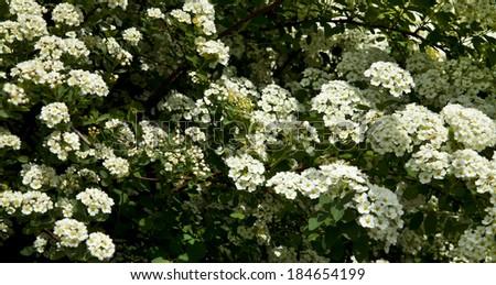 Bush white flowers spring stock photo edit now 184654199 the bush white flowers in the spring mightylinksfo