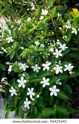 Bush white flowers thailand stock photo edit now 96425645 bush with white flowers in thailand mightylinksfo