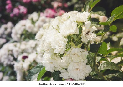 Bush of white roses with green leaves