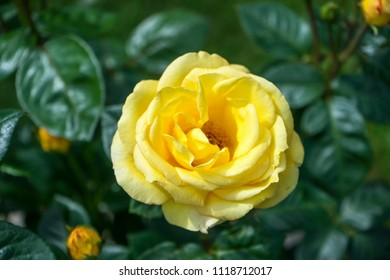 Bush of yellow roses in the garden