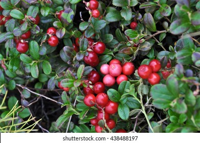 Bushes of cranberries in late summer on the Taimyr Peninsula.