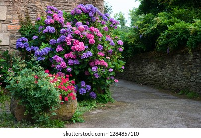 Bushes of hydrangea pink, blue, lilac, violet, purple. Flowers are blooming in spring and summer in town street garden. Violet, pink and blue hydrangea bushes near old stone wall. Normandy, France.