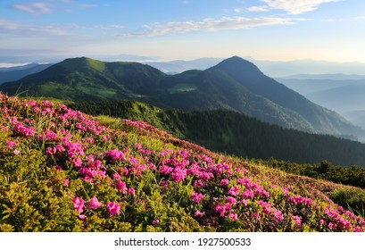 The bushes of pink rhododendron flowers on the mountain hill. Morning landscape with beautiful sky and clouds. A nice summer day. Wallpaper colorful background. Location Carpathian, Ukraine, Europe.