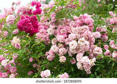Bushes of pink roses in the garden. Gardening, plants for landscape design.