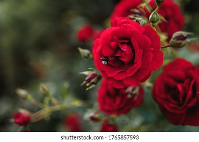 Bushes of red or scarlet roses. Flowering time, natural flower fence. Gardening, plants for landscape design.
