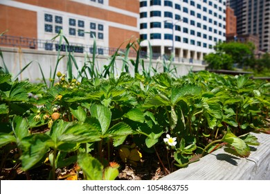 bushes of strawberries in a pot on the balcony. seedlings of strawberry in pots. The concept of urban gardening
