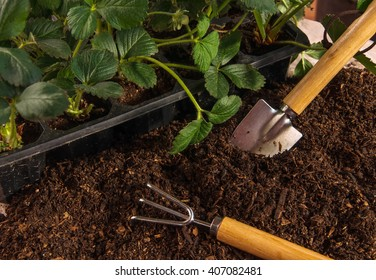 Bushes of strawberry in box, prepared ground and small garden tools with wooden handles (spatula and rake). Gardening concept.