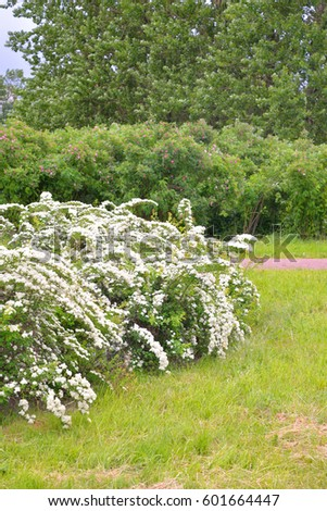 Bushes White Flowers Summer Park Stock Photo Edit Now 601664447