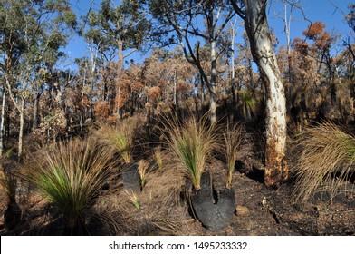 Bushland after controlled burning for fire control, Whistlepipe Gully Walk, Mundy Regional Park, Perth Hills, Western Australia, Australia