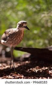 Bushstone Curlew Australian native bird