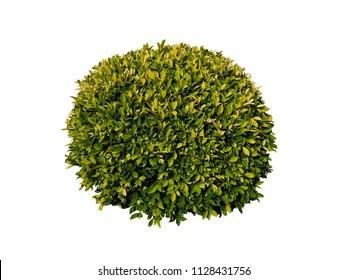 Bush,Tree isolated on white background