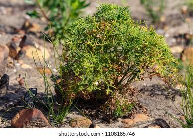 Bushy Green leaves growing in Van Stadens Wildflower Reserve