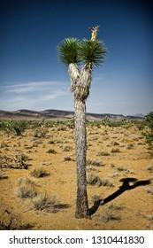 Bushy tree standing tall in an arid landscape.