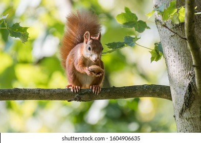 bushy-tailed squirrel with a nut on a branch