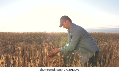Business man checks the quality of wheat. agriculture concept. Farmer's hands pour wheat grains in a bag with ears. Harvesting cereals. An agronomist looks at quality of grain.