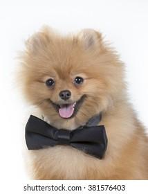 A business pom pom. An image of a pomeranian dog wearing a black bow. Image taken in a studio.