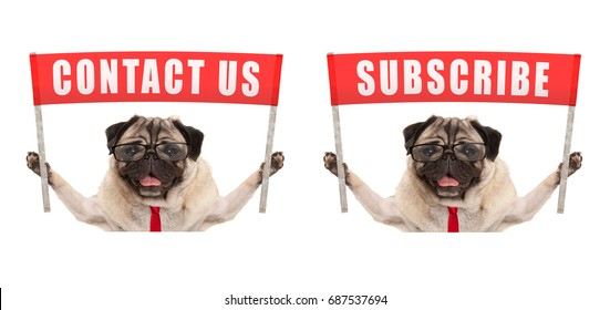business pug dog holding up red banner sign with text contact us and subscribe, isolated on white background