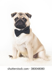 A business pug. A funny image of a puppy pug wearing a black bow. Image taken in a studio.
